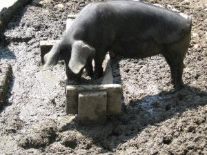 Pig at OSV